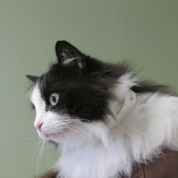 Adopt Sparkle On Petfinder Ragamuffin Cat Ragdoll Cat Kitten Love