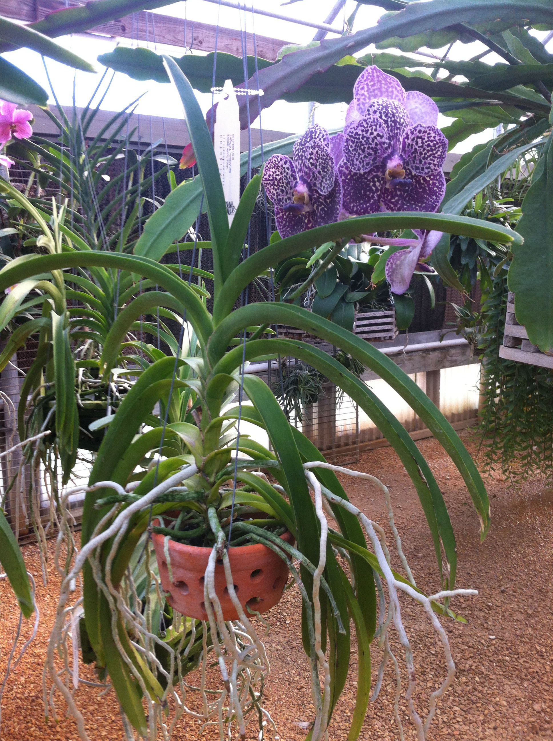 How to care for orchids Wanda
