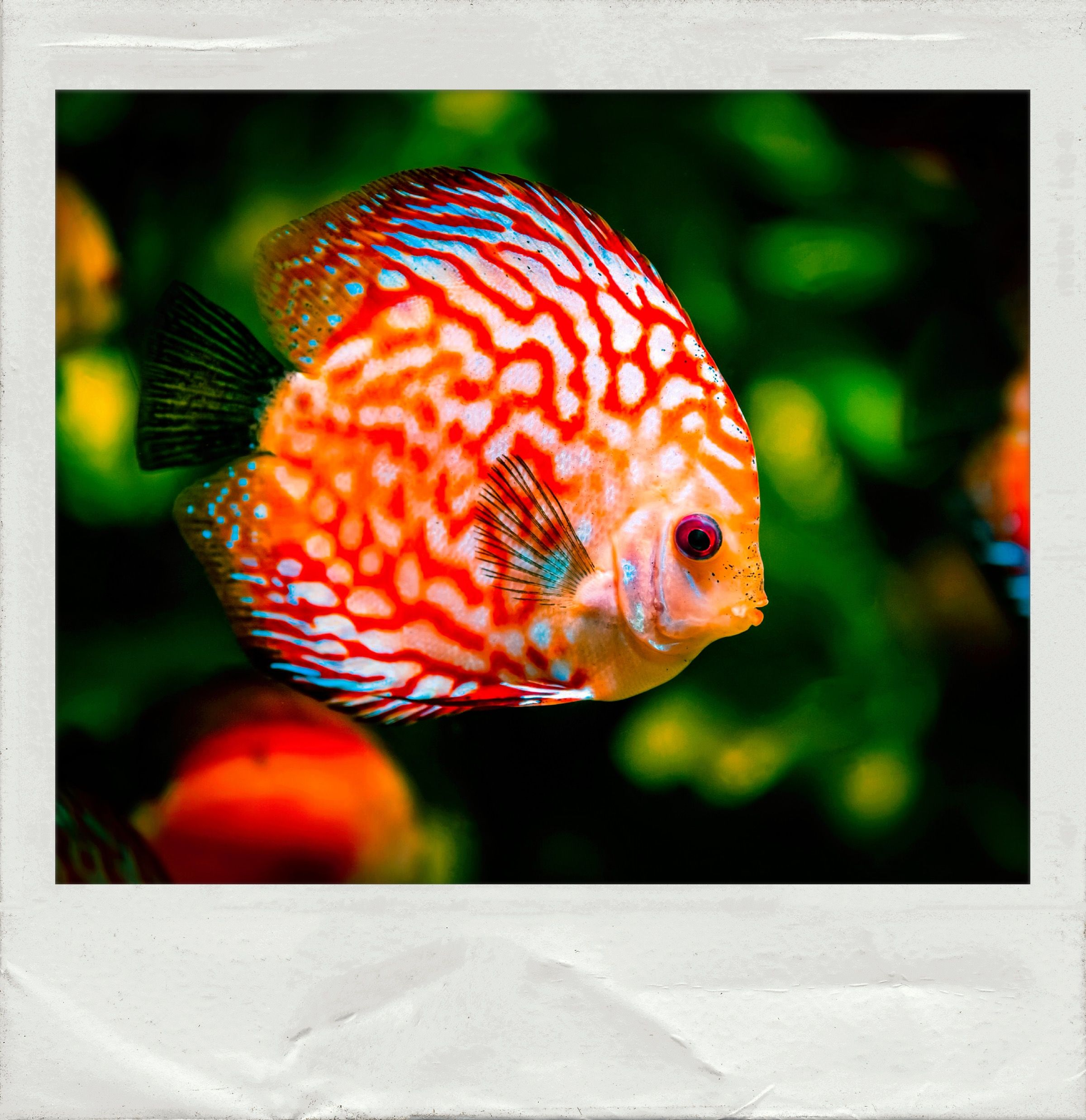 Colorful #Fish. Edited and Framed with the #PolaroidFx #app ...
