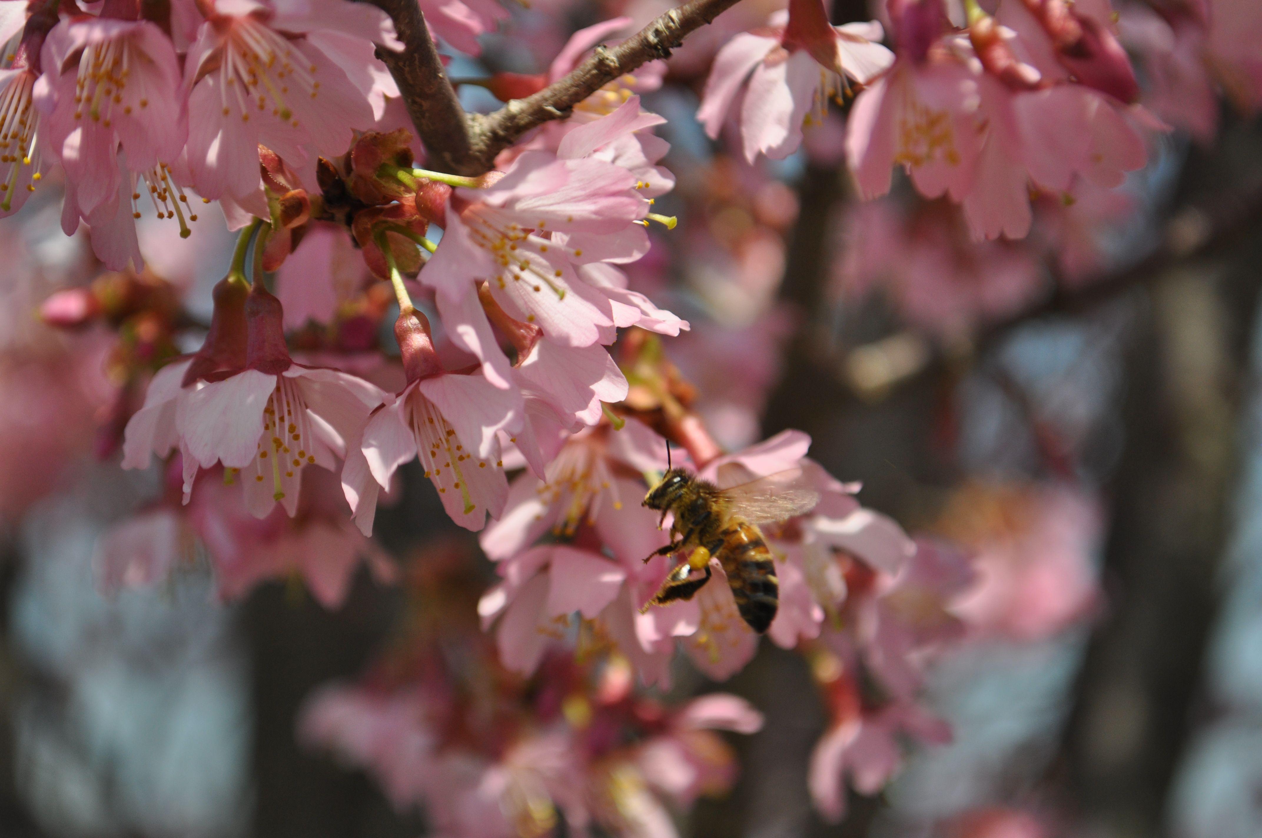 Spring Cherries