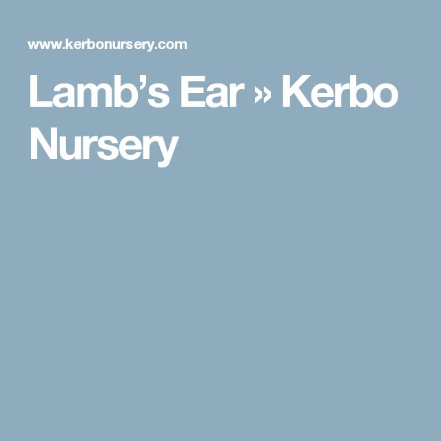 Lamb's Ear » Kerbo Nursery