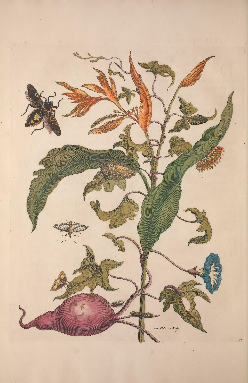 Metamorphosis insectorum surinamensium by Maria Sibylla Merian, 1647 ...