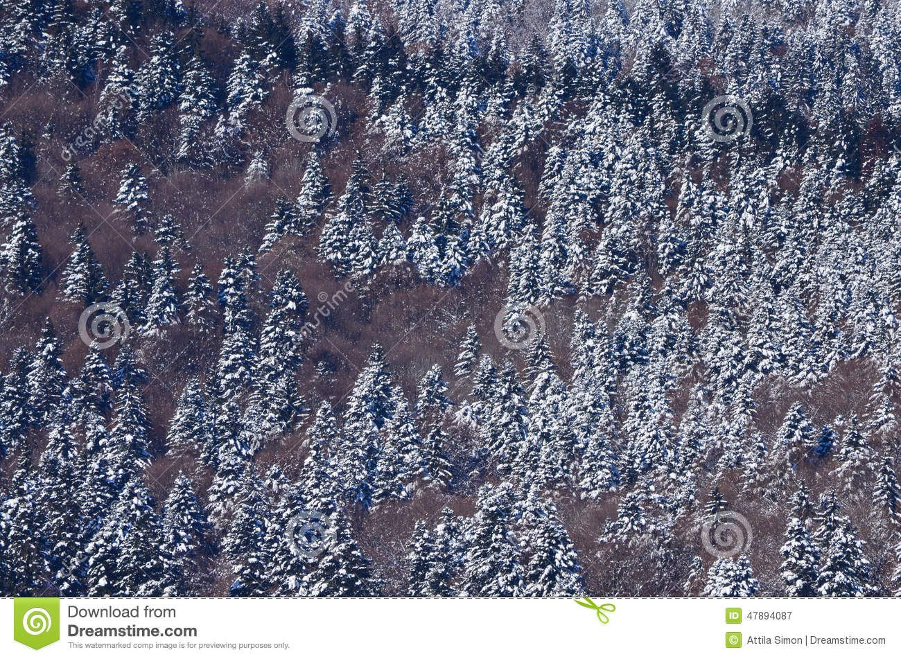 Aerial winter pine forest, frozen trees at Baile Tusnad, Romania.
