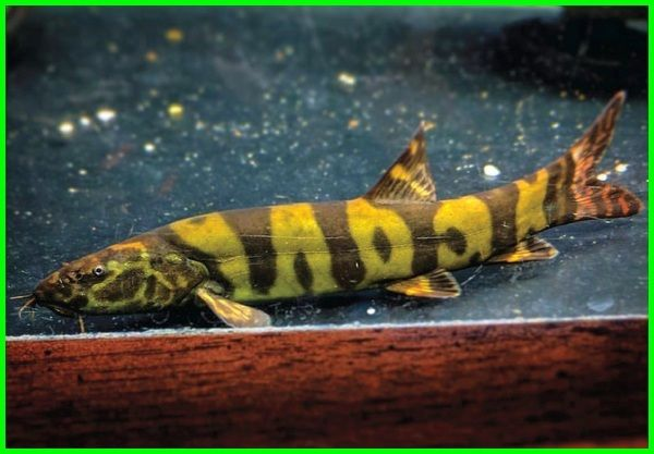 Ikan Termahal Di Dunia Paling Mahal