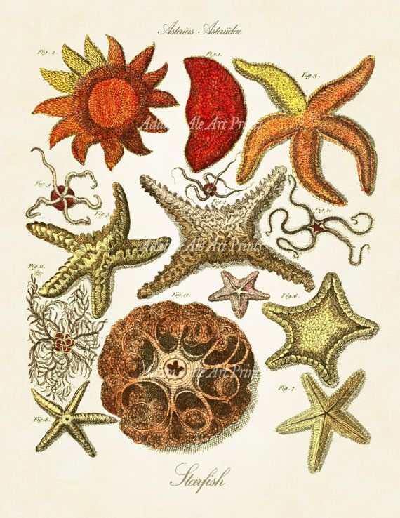 Vintage Colorful Starfish Scientific Illustration Reproduced From Circa 1783 British Text