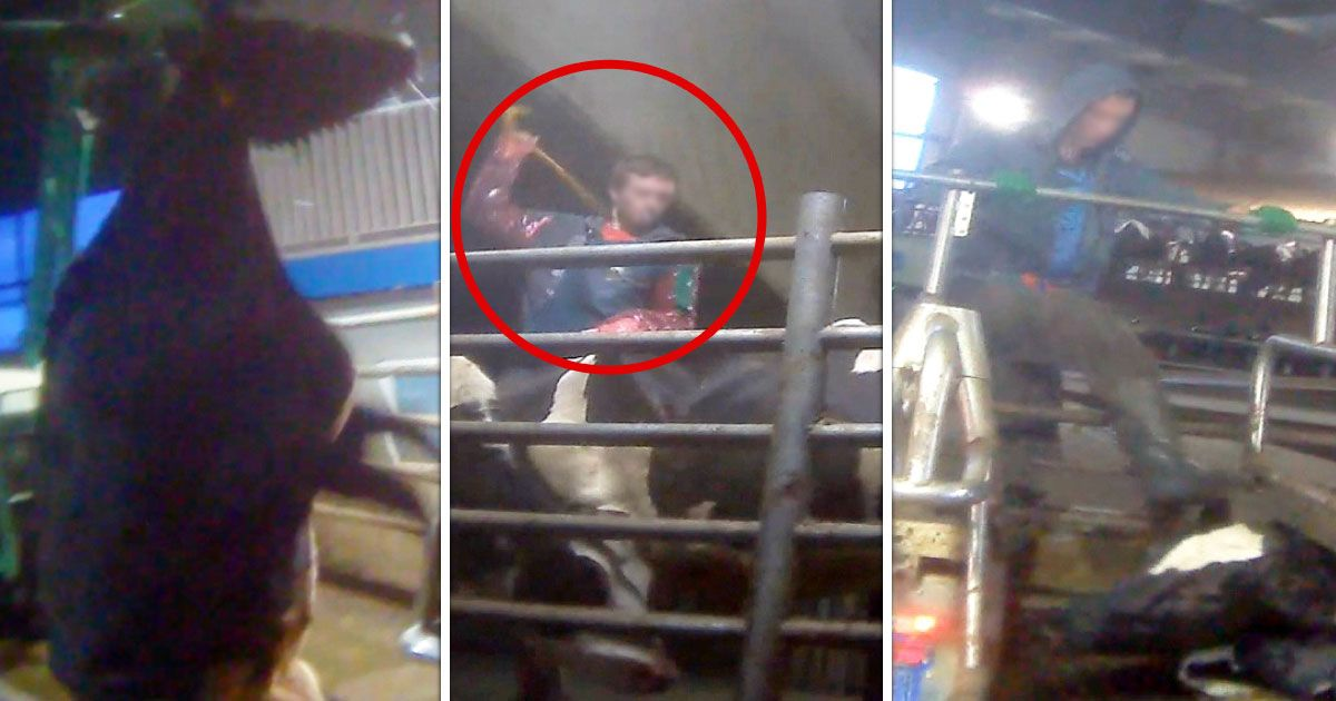 Please Sign - These Acts of Violence Against the Innocent Must STOP!  Horrific undercover video footage of workers viciously kicking, punching, and beating cows at Chilliwack Cattle Company, a Saputo dairy supplier in BC. You'll never look at a glass of milk the same way again. Watch now.