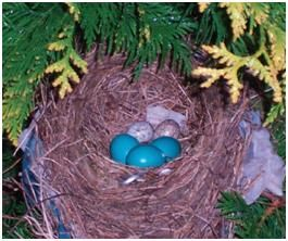 Will Robins And Cardinals Share A Nest American Robin Northern