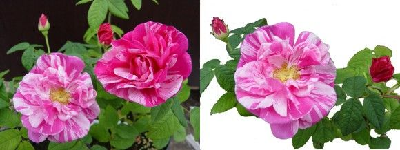Taimikko Ruhanen - kirjoapteekkarinruusu - Rosa 'Rosa Mundi'
