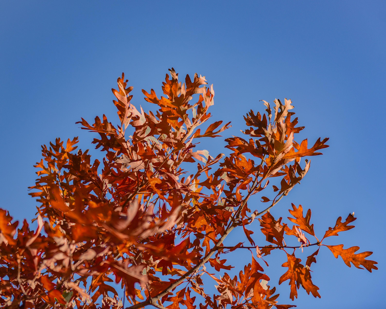 Oaktree morton arboretum mortonarboretum lisle fall