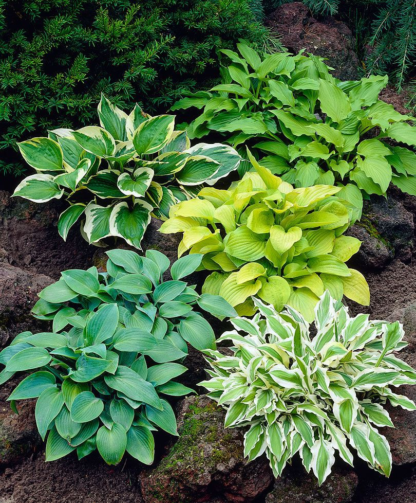 Buy Hardy Perennial Hosta Mixed Backyard Landscaping Hosta