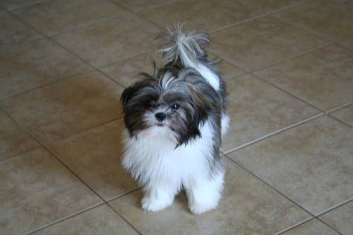 Chinese Imperial Shih Tzu 6 Months Old Toy Dog Breeds Imperial Shih Tzu Shih Tzu Dog
