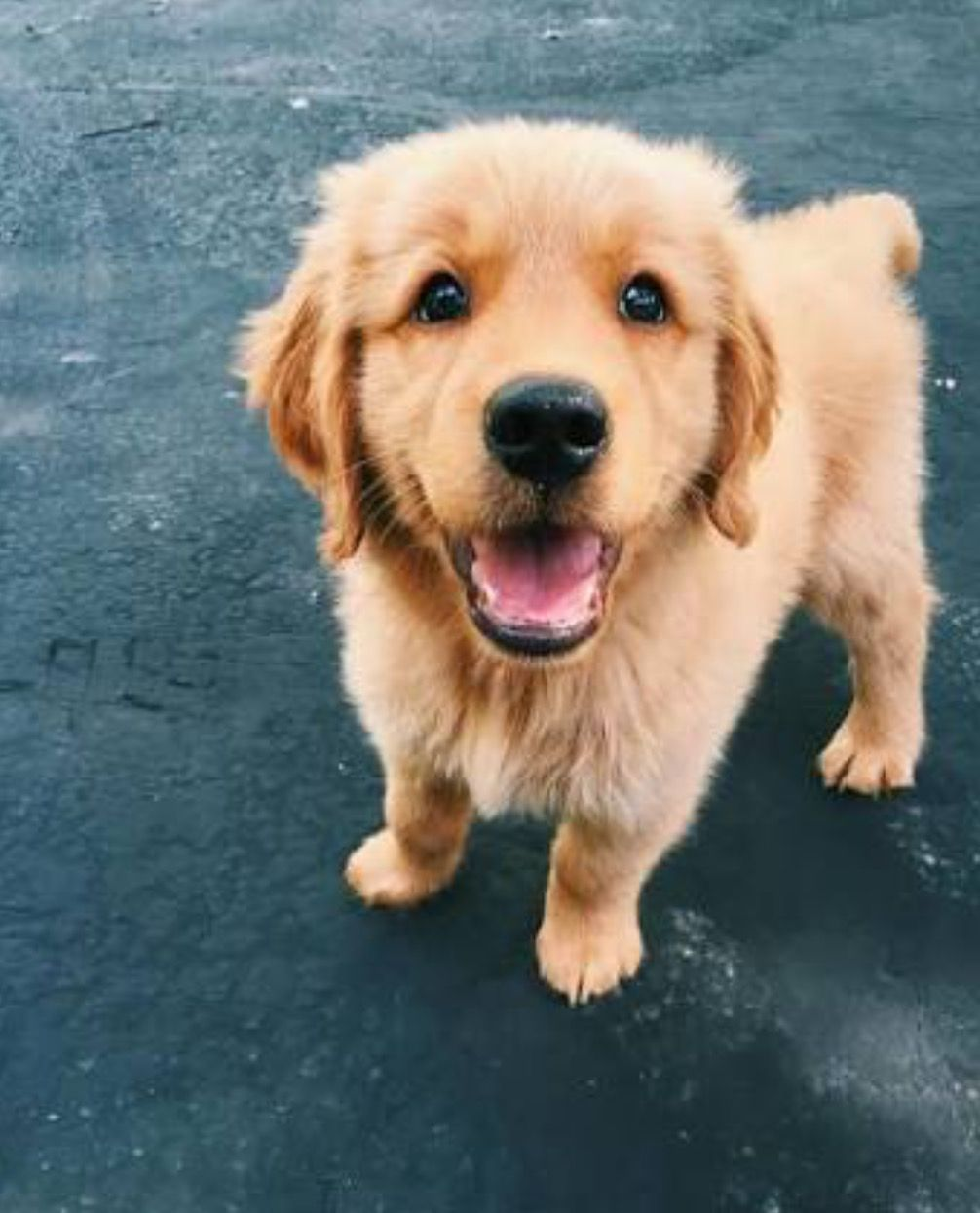A Very Happy Puppy Follow Me For More Isabella Puppies Cute Animals Retriever Puppy