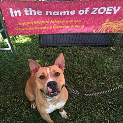Pictures of Buddy a Staffordshire Bull Terrier for