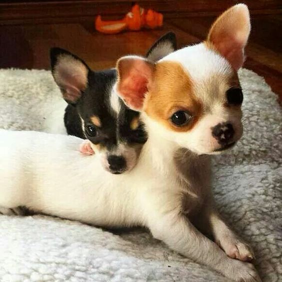 6 Cool Facts About Chihuahuas