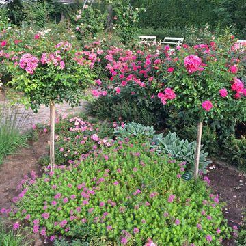 Rosen In Hulle Und Fulle Garten Rosen Wald