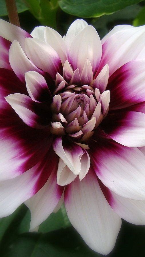 Dahlia Dahlia S Are Sturdy Flowers Native To Mexico The Colors Of These Beauties Are Vast They Can Be Multi Color Amazing Flowers Flowers Beautiful Flowers