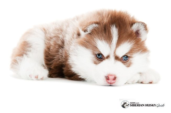 Caring For Your Siberian Husky Puppy Siberian Husky Guide