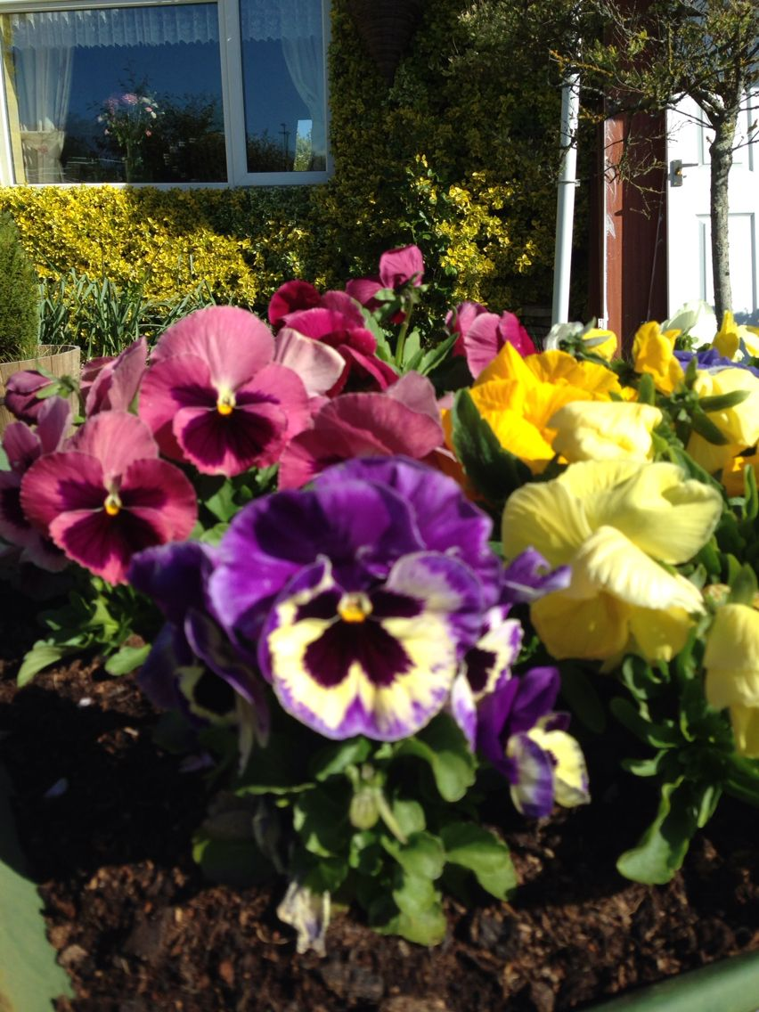 My pansies the size of the heads this year are amazing