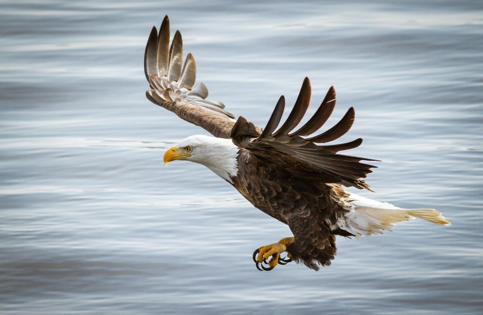 Eagle bird predator wings flight wallpaper 2000x1305 309694 eagle bird predator wings flight wallpaper 2000x1305 309694 wallpaperup voltagebd Image collections