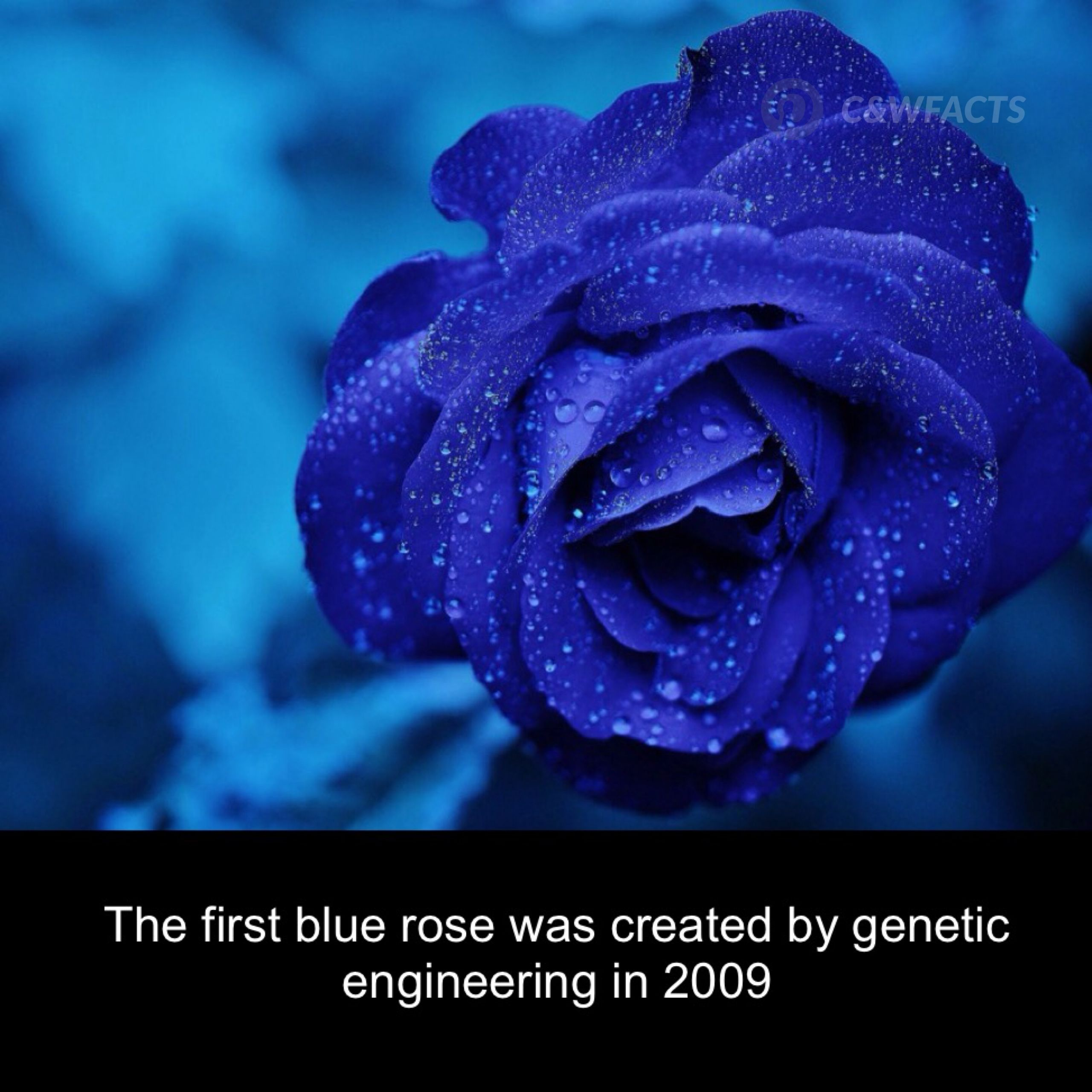 Blue Rose Was Created By Genetic Engineering Plants Pinterest
