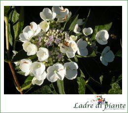 Fiori Bianchi Giugno.Hydrangea Macrophylla Libelle Hydrangea Macrophylla Teller