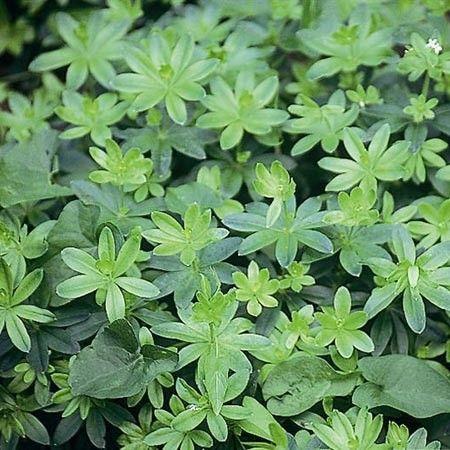Asperule odorante - Plantes et Jardins   jardin   Pinterest ...