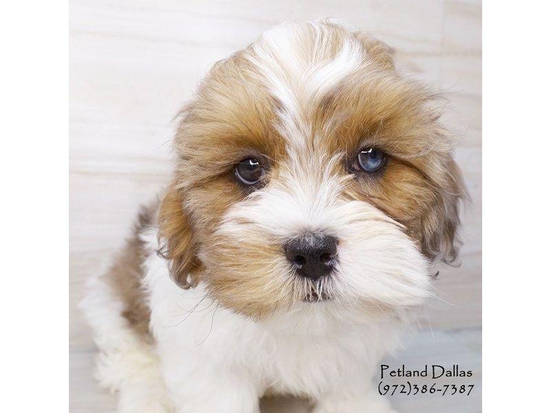Shih Poo Puppies Petland Dallas Tx Shih Poo Shih Poo Puppies Puppy Photos