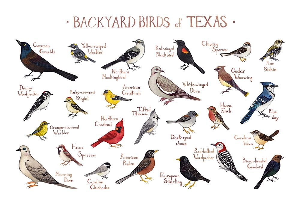 Texas Backyard Birds Field Guide Art Print   Backyard ...