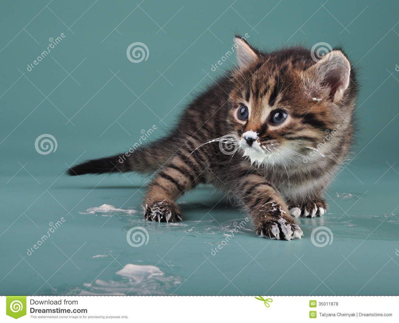 Small Kitten Sour Milk Over Face Paws Studio Shot 35011878 Jpg 1300 1052 Small Kittens Kitten Paw