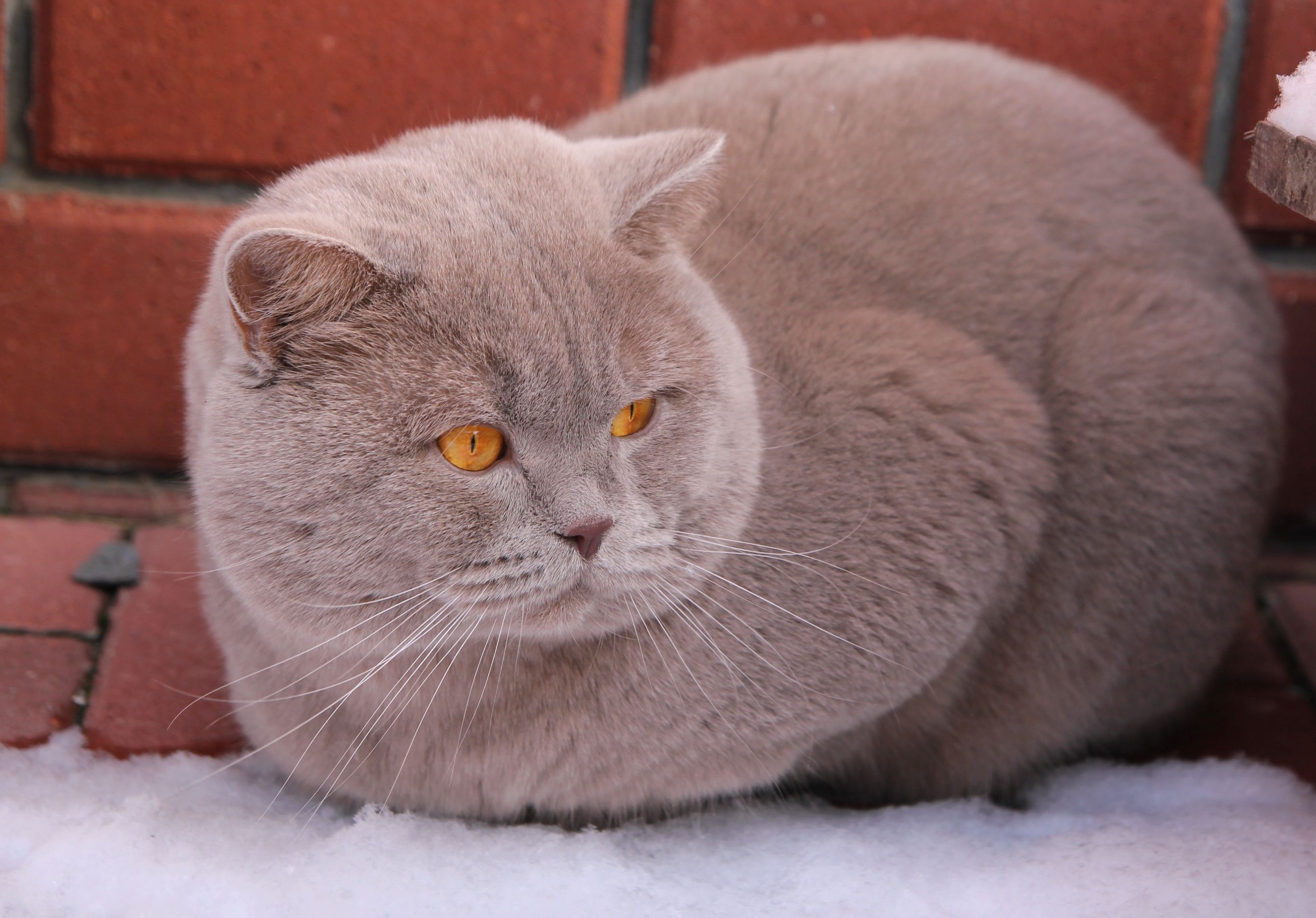 Lilac British Shorthair British Shorthair Cats Grey Cats Fluffy Cat