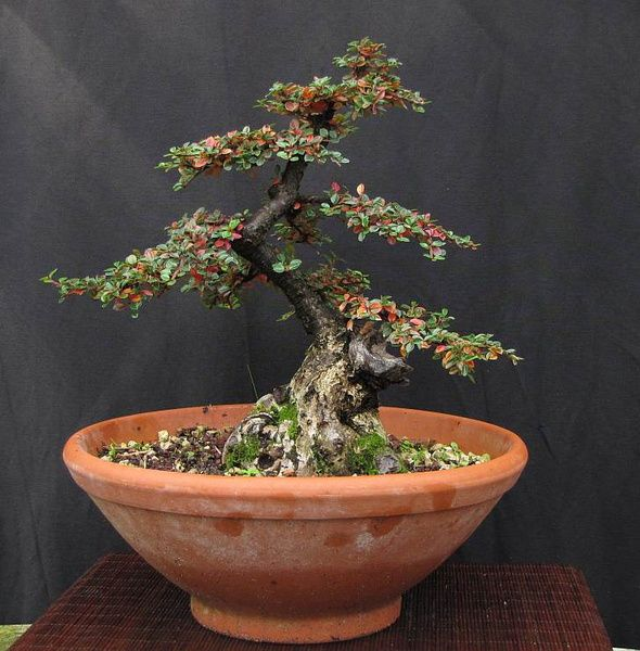 Image result for cotoneaster bonsai leaf blair road for Bonsai hydrokultur