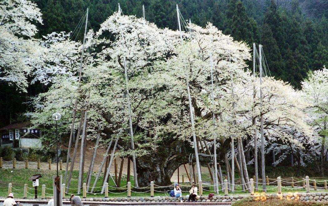 根尾 淡墨桜 1996年4月25日 アナログ撮影