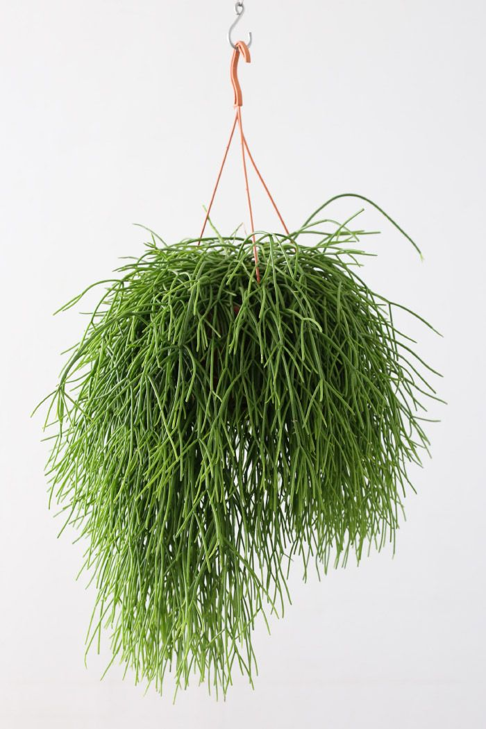 Rhipsalis pulchra plants pinterest plants cacti and for Indoor gardening meaning