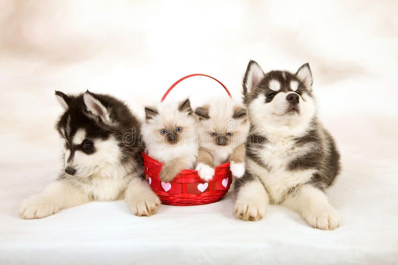 Kittens And Puppies Siberian Husky Puppies With Two Ragdoll