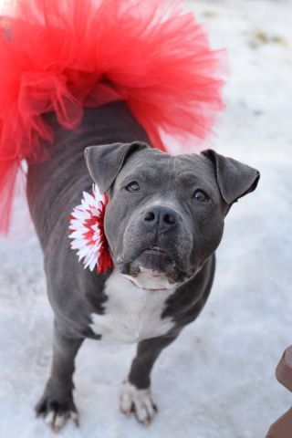 Brooklyn Center LOVE – A1063959 FEMALE, GRAY / WHITE, PIT BULL, 3 yrs STRAY – STRAY WAIT, NO HOLD Reason STRAY Intake condition EXAM REQ Intake Date 01/30/2016, From NY 11212, DueOut Date 02/02/2016