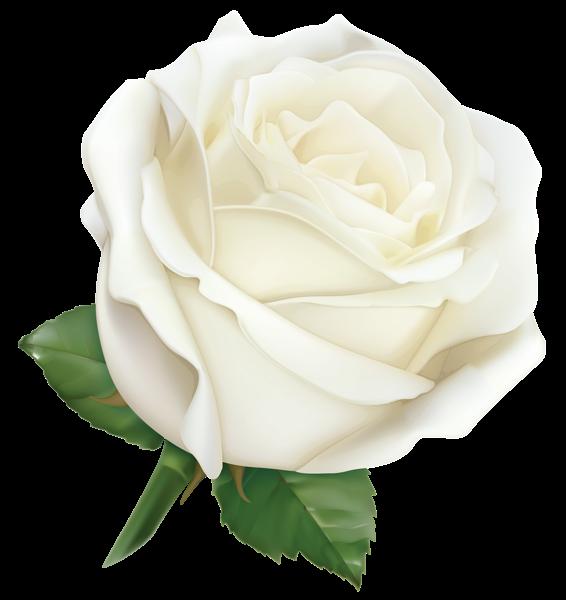 Large White Rose Png Clipart Image Pink Rose Png Rose Flower Wallpaper White Rose Png