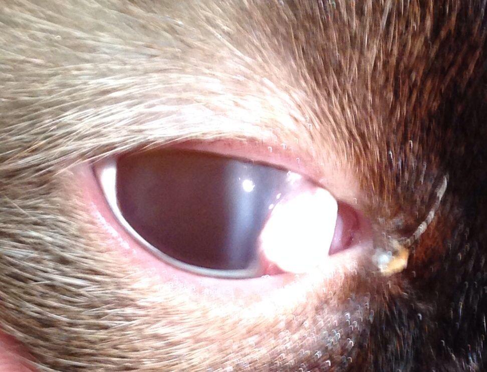 Feline proliferative keratoconjunctivitis Animals, Cats