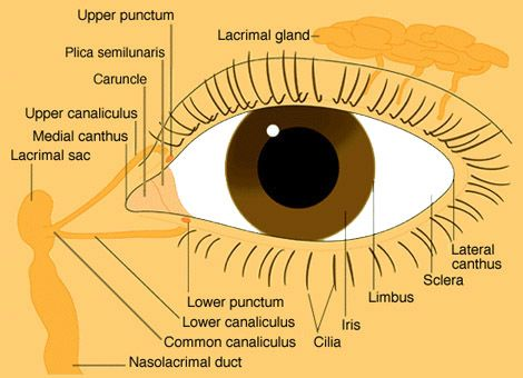 External eyes diagram electrical wiring diagram external eye diagram wiring library u2022 rh lahood co eye diagram of exterior external eye diagram ccuart Image collections