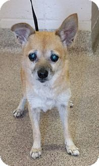 Maude Urgent Miami County Animal Shelter In Troy Ohio Adodt Or Foster Senior Female Chihuahua Mix Dog Adoption Pets Chihuahua