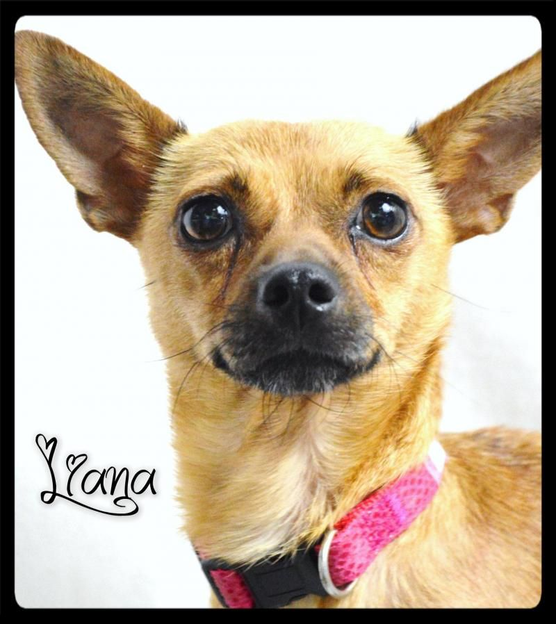 Adopt Liana On Terrier Mix Dogs Dogs Puppies