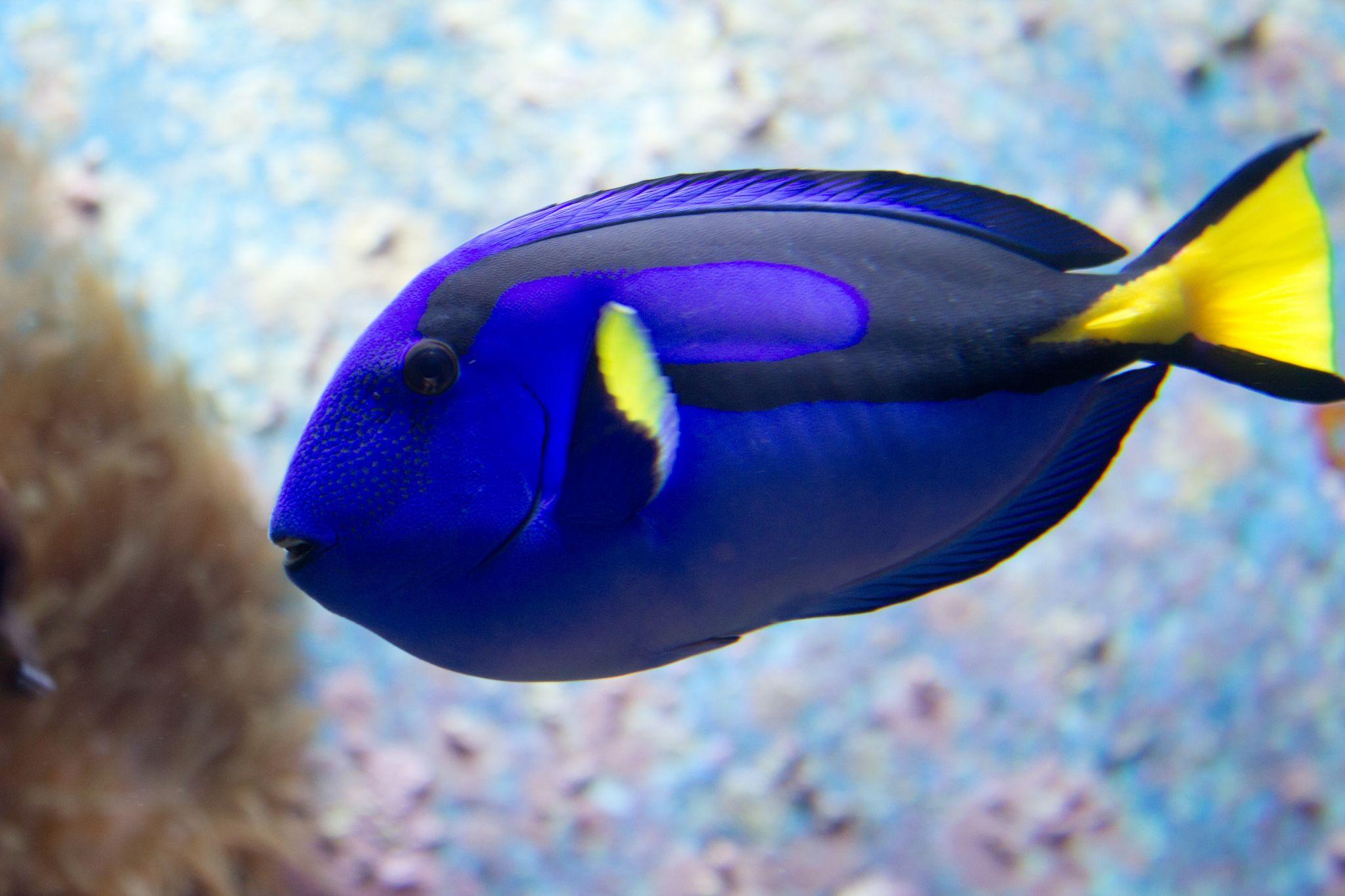 Blue Tang Yellow Fish Blue Tang Animals