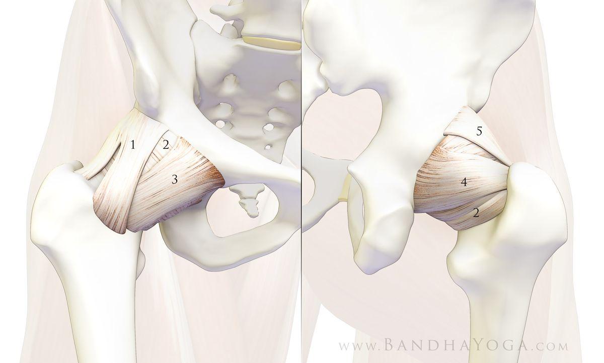 1-iliofemoral ligament, 2-hip capsule, 3-pubofemoral ligament, 4 ...