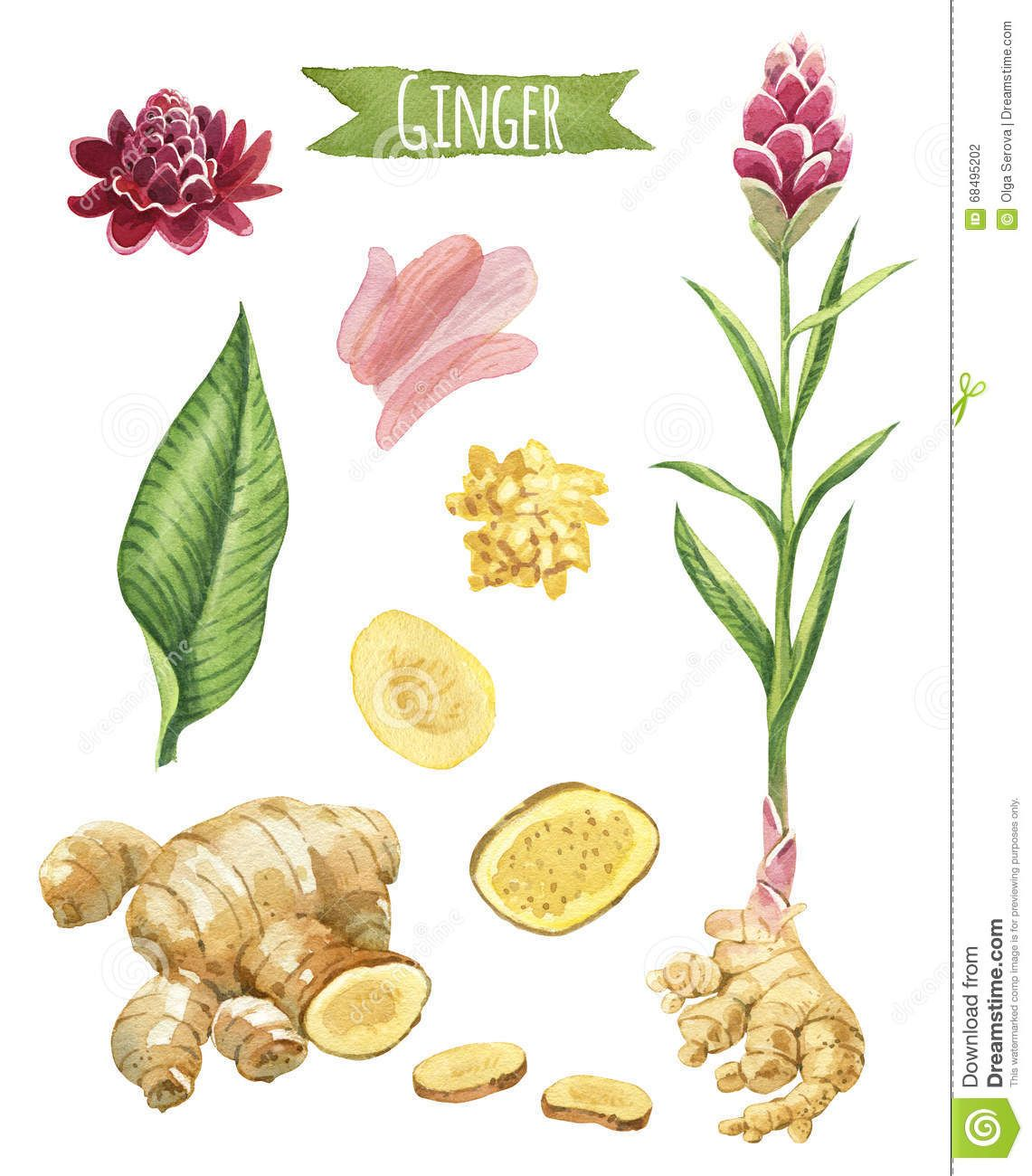 Illustration About Ginger Hand Painted Watercolor Set Clipping Paths Included Illustration Of Leaf B In 2020 Herbs Illustration Watercolor Plants Botanical Drawings