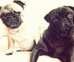 Puga Chan And Edgar Pewdiepie Dog Dog Friends Pugs