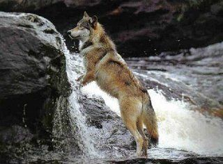 Pin By Bo Mcgee On Canines Wolf Wolf Pictures Wolf Love