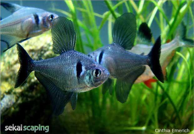 Black Phantom Tetra Hyphessobrycon Megalamphodus Megalopterus Saltwater Aquarium Fish Aquarium Fish Tetra Fish