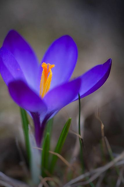 Lonely blue Crocus