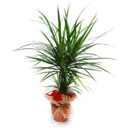 Kwiaty Doniczkowe Flower Delivery Flowers Online Flower Delivery Service
