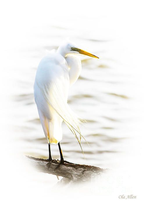 Cloaked and Wrapped - Great Egret at Lion's Bridge in Newport News, Virginia  By Ola Allen