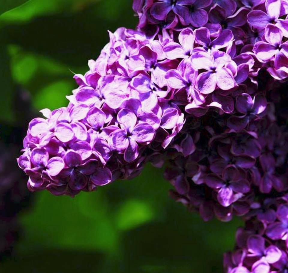 Being Able To Guide Someone Into Ways Of Seeing For Themselves Where Their Real Problems Are Is Perhaps The Truest Fo Flower Essences Essence Magazine Lilac